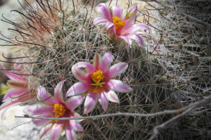 These exquisite blooms where on a very small cactus.