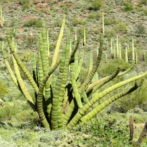 Organ Pipe Cactus have many different arms unlike a Saguaro Cactus.