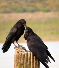 Raven love.