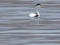 A Clarke's grebe on the lake.