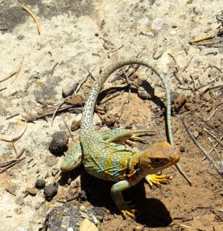Colorful Western Collared Lizard.